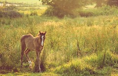 colt in the warm sun (Jen MacNeill) Tags: light summer horses horse baby sun sunshine gold golden warm meadow sunny pasture hour colt equine filly foal thelittledoglaughed jennifermacneilltraylor jmacneilltraylor jennifermacneill jennifermacneillphotography