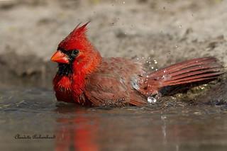 Cardinal rouge au bain, Northern Cardinal
