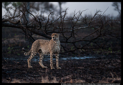 Post-chase cheetah
