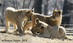 SAS_6352 (SSipple) Tags: lion bigcats lioncubs marylandzoo themarylandzoo zoosofnorthamerica flickrbigcats