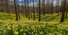 Daffodil Valley in the Sun (markhortonphotography) Tags: park flower yellow canon landscape spring surrey daffodil 7d windsorgreatpark royallandscapes 1585mm thevalleygarden