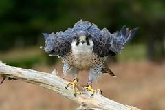 pf_0583 (www.fozzyimages.co.uk) Tags: wildlife newforest birdsofprey rspb captivelightukcom