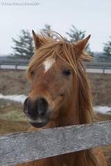 caramel breeze (martinaschneider) Tags: cambridge horse spring equines greenfieldsstables