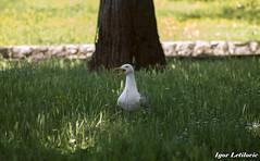 Seaguuuuul! (Igor Letilovic) Tags: park bird nature grass animal call samsung croatia center scream attention priroda helios hrvatska rijeka trava ptica centar galeb zivotinja vrisak glasanje paznja nx1000