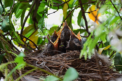 Hungry birds in the nest (federico_nelli) Tags: bird nature birds animal nest natura uccelli planet nido animalplanet
