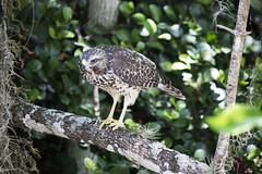Hawk (DFChurch) Tags: bird nature florida hawk everglades
