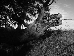 Mythical Wood (Digikiki) Tags: camera wood old trees light shadow wild summer bw dog white abstract black eye texture nature monochrome grass sunshine animals tongue contrast that landscape high bush scenery key long raw day afternoon dragon body head teeth creative shapes like july surreal samsung overcast lincolnshire fantasy bark ethereal looks late mystical serpent creature lowkey imaginary twisted mythology lightandshadow gnarled compact unedited alsation 2015 mindseye wb700 classicfilter