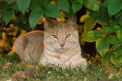 Cat at the sunset (bertrandwaridel) Tags: sunset shadow summer tree cat switzerland suisse july sunsetlight vaud 2015 echallens