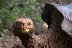 Isla Santa Cruz - Giant Tortoise Diego (Christian Jena) Tags: santa giant tortoise diego galapagos cruz isla