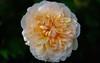 Rose (alanpeacock2) Tags: orange flower rose yellow lemon perfume sunburst scent fragrance flowersinmygarden oldenglishrose