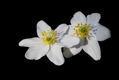 Wood Anemone (CobaltWildlife) Tags: 2014 flowers ireland flower garden house plant woodanemone