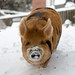 Kune Kune Pigs in the Snow-6