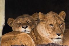 Time to rest (Enjoying Nature Moments) Tags: natuur nature nederland netherlands holland dutch velp fauna dier animal dieren animals zoogdieren mammal mammals leeuw lion leeuwin liones leeuwen lions leeuwinnen lionesses dierentuin zoo