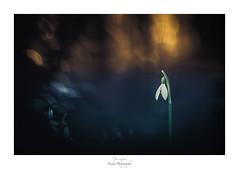 D'une saison à l'autre (Naska Photographie) Tags: naska photographie photo photographe paysage proxy proxyphoto macro macrophotographie macrophoto perce neige perceneige fleur flower floral forest foret extérieur nature color couleur bokeh ambiance univers histoire