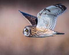 Passerby (mLichy911) Tags: owl shorteared owls wild wildlife nature bird raptor bokeh dof flight bif action winter pnw wa seattle handheld 7dmarkii canon 500f4 detailed feather