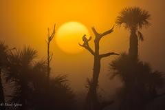 Orlando Wetlands Sunrise (dngovoni) Tags: bird florida fog landscape orlandowetlands palmtrees sunrise sunrise5 vulture wildlife