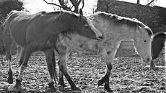 Horsing Around (Daphne-8) Tags: pferde horses caballos cheveaux blackandwhite bw schwarzundweiss bn monochrome animals tiere paarden playing spielen cheval spring frühling monochroom animales