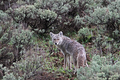 Coyote - Grand Teton National Park (Ernie Orr) Tags: coyote wildlife teton tetons grandtetonnationalpark