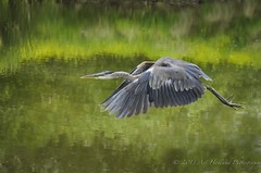 GBH flight DSC507051913 (Gitart) Tags: blue red green bird heron nature reflections grey wings wildlife flight feathers reflect greatblueheron avian feathered naturelover gbh blinkagain