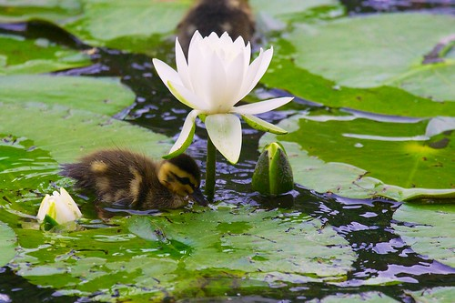 A duck kid playing around a water lily flower