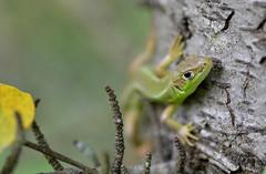 Jeune lzard vert (rj@ubertsb) Tags: nature nikon vert aude lzard jeune rjubertsb