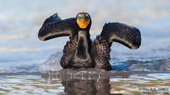 Double-crested Cormorant (Bob Stronck) Tags: avian seabird redwoodcity redwoodshores doublecrestedcormorant phalacrocoraxauritus sanmateocounty stronckphotocom birdsofsanfranciscobay ©2013rmstronck