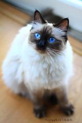 Chilli 3 (SuperNiima) Tags: pet cute cat blueeyes ragdoll