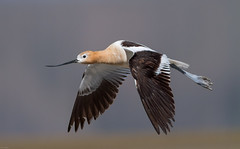 American Avocet (Recurvirostra americana): Taunting (Johnrw21) Tags: nature birds oregon photography wildlife flight american marsh waterfowl avian wading avocet avocets