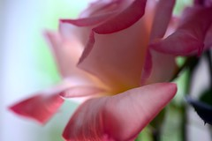 Rose (love_child_kyoto) Tags: masterphotos artisticflowers takenwithlove mindigtopponalwaysontop マスター写真 takenwithhardwork