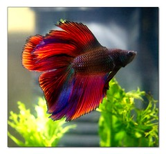 betta-2 (hodad66) Tags: fish aquarium betta snodgrass