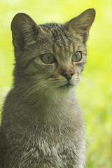 Anholter meet 7 (Patrick Mortko) Tags: pentax k5 felissilvestris wildekat wildparkanholterschweiz sigma150500f5f63apodgos