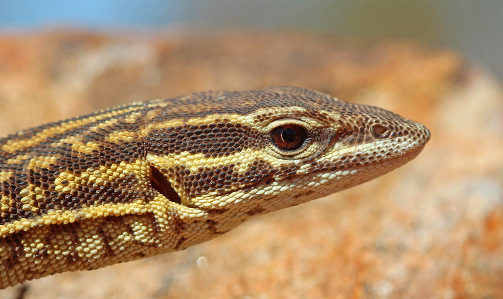 The World's most recently posted photos of goanna and
