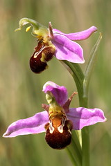 Bee Orchid, Snitterfield Bushes, Warwickshire (Andy_Hartley) Tags: orchid flower bee warwickshire beeorchid snitterfieldbushes snitterfield mygearandme vigilantphotographersunite vpu2
