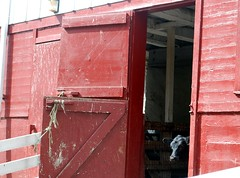 red barn door with calf (iris.river) Tags: red barn farm calf frommemorystick