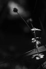 B&W lichTStimmung (MomentenKtscher) Tags: flowers light white black nature 50mm licht bokeh sony natur 17 gras blume yashica apfel schwarz nex weis stachel lichtstimmung