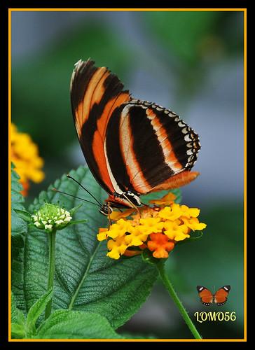 Orangefarbener Tiger (Dryadula phaetusa)