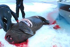 Walrus Hunt 8_5_13 1 369 (efusco) Tags: ocean sea ice alaska native arctic butcher hunter beaufort walrus hunt midnightsun iceburg floe inupiat inupiaq aivik femalewalrushunt85131