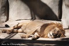 Leão - Lion (Marcos_Luz) Tags: light sunset cidade portrait bird luz sol riodejaneiro canon 50mm nikon d70 tiger moda lion 300mm borboleta 5d macaco maravilhosa trem marcos tigre por garça passaro leão gorila urso predio arara grafite 18mm 6d hipopotamo construção d600 primata d90 exclusivo d7100 d700 chipanzé d7000