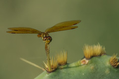 eastern amberwing (explored 8/30/2013) (robert salinas) Tags: dragonflies sigma a57 hornsbybend odonates