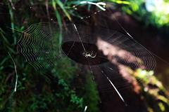 Spider Net (Ajenjonadita) Tags: net insect spider circlenet