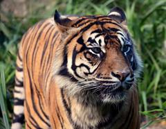 Sumatran Tiger. (Phil-Greaves.) Tags: park ireland dublin phoenix cat zoo nikon wildlife tiger bigcat sumatrantiger sumatran phoenixpark dublinzoo afsdx d5200 55300mm