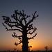 Baobab, Senegal