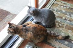 Gracie and Millie 26 September 2013 7161b 4x6 (edgarandron - Busy!) Tags: cats cat gracie feline tabby kitty kitties tabbies millie graytabby patchedtabby