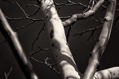110/365 - Shine On (michael.cessna) Tags: light bw reflecting blackwhite nikon shine reflect sycamore 365 toner shineon platanusoccidentalis project365