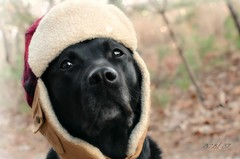 so damn cold (~ Life As I See it ~) Tags: dog hat labrador retriever blackdog willow blacklab 365 willy gooddog elmerfudd odc gamefarm project365