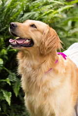 MOLLY (Tc photography.Per) Tags: pink portrait dog girl goldenretriever movie eyes retriever molly tutu tcphotography