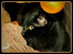 3...2...1.....mein ( Platz ) (karin_b1966) Tags: christmas xmas animal cat weihnachten tyson katze haustier tier domesticanimal stubentiger 2013 roomtiger