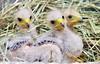 Harris Hawk (floridapfe) Tags: animal zoo nikon korea everland harrishawk