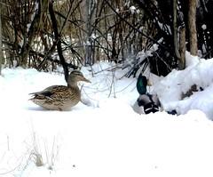 Snow ducks (EcoSnake) Tags: snow birds wildlife ducks waterfowl mallards idahofishandgame natureceneter