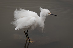 Bad Hair Day (MelRoseJ) Tags: california nature birds northerncalifornia unitedstates minolta fremont lakeelizabeth bayarea egret snowyegret a57 sonyalpha abigfave minoltaaf100mmf28macro mygearandme